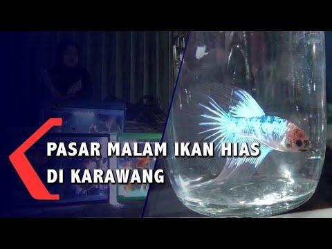 ikan hias mampu gerakkan perekonomian masyarakat