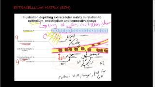 #36- Extracellular matrix (ECM) 1 of 2 - function of ECM and its components, collagen