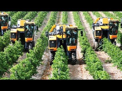Вижте как берат гроздето на Запад!