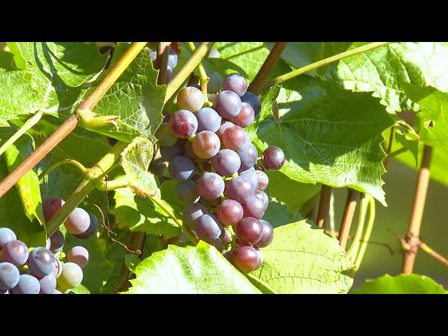 Виноград, орехи, кукуруза на сибирской земле