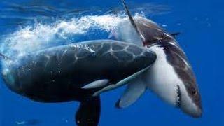 Orcas Attack Great White Shark - Neptune Islands, South Australia.