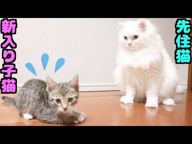 保護した野良猫と先住猫が初対面!子猫同士はどういう反応をする??