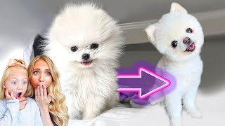 Video We Shaved All Of Our 3 Pound Puppy's Hair Off... (CUTEST TRANSFORMATION EVER) MP3, 3GP, MP4, WEBM, AVI, FLV September 2019