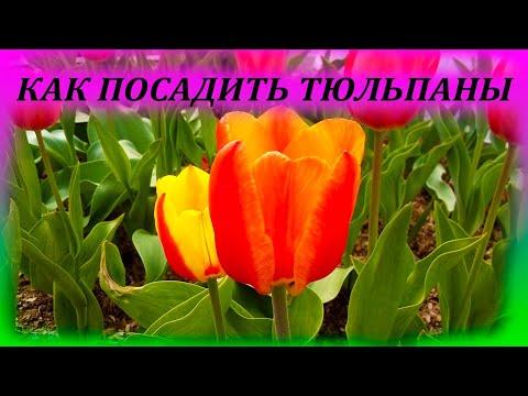 КОГДА И КАК САЖАТЬ ТЮЛЬПАНЫ. Как выращивать тюльпаны. Когда посадить тюльпаны. 🌷🌷🌷
