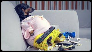 Im A Fat Guy! Cute & Funny Dachshund Dog Video!