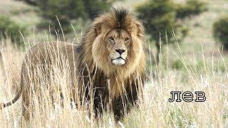 Голоса и звуки животных Африки для детей
