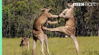 Download Youtube: Kangaroo Boxing Fight | Life Story | BBC
