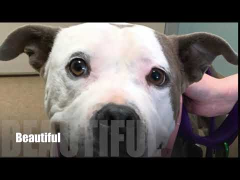 ROXIE, an adoptable American Staffordshire Terrier in Thousand Oaks, CA