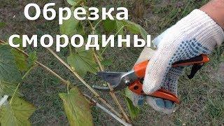 338. Правильная обрезка СМОРОДИНЫ -  залог большого урожая.
