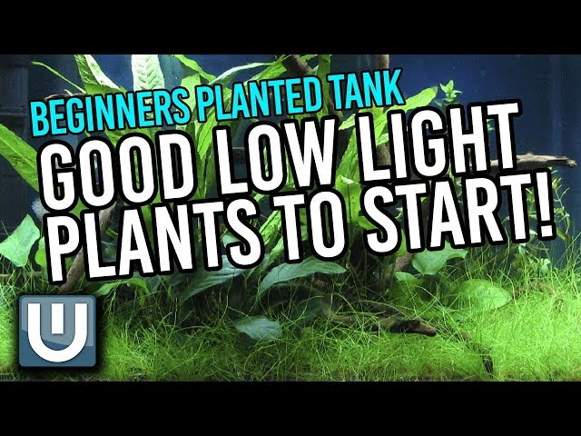 Good Beginner Low Light Plants | Beginner's Primer to Planted Tanks | Part 3