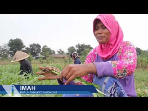 Kisah Buruh Tani Ikat Kangkung