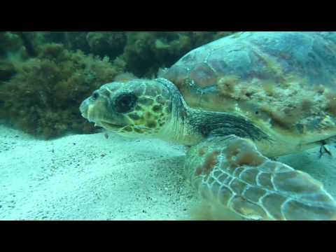 Diving Malta: Meet a turtle, L´Ahrax Point,Malta