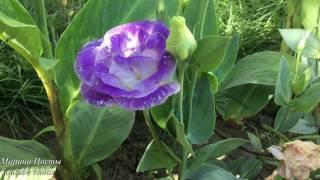 Эустома  Ирландская роза  Выращиваем вместе
