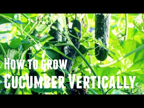, title : 'How To Grow Cucumber Vertically - Save Space & Increase Yields in 3 Simple Steps Growing Vertically