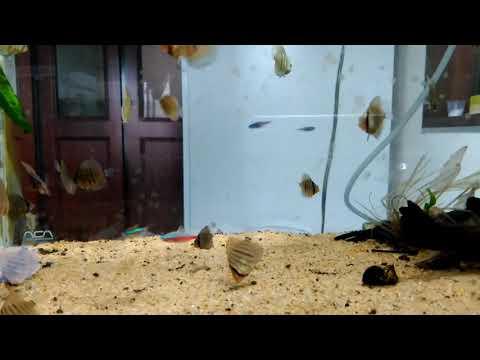 ヘッケルディスカス稚魚