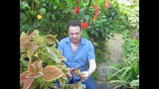 How to propagate coleus