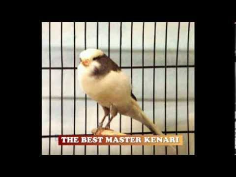 THE BEST MASTER KENARI ( SINGING CANARY ) Mp3