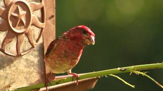 Purple Finches at the Feeder