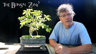 My Show Trees For This Year, Part 1, The Bonsai Zone, July 2018