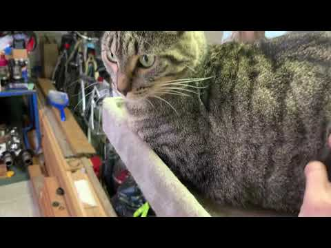 Geronimo, an adoptable Tabby & Domestic Short Hair Mix in Springfield, OR_image-1