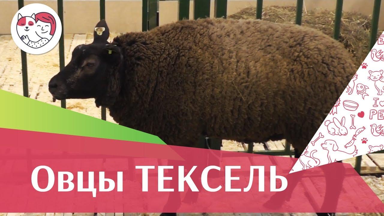 Овцы породы ТЕКСЕЛЬ. Особенности, уход