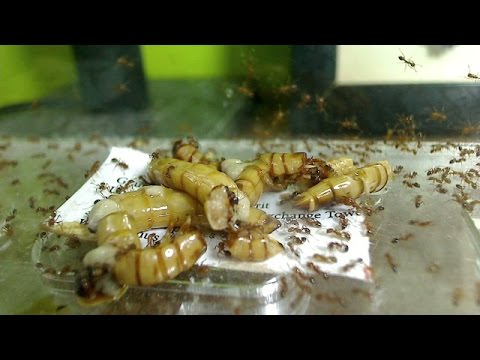 Time lapse: Feeding Other Insects to Ants | Contest Winners