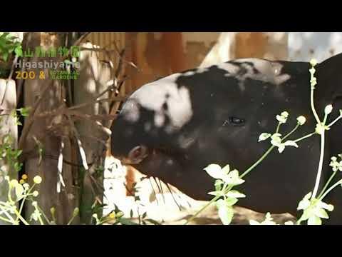 【東山動植物園公式】マレーバク:ヒサの食事風景(枝の葉編)
