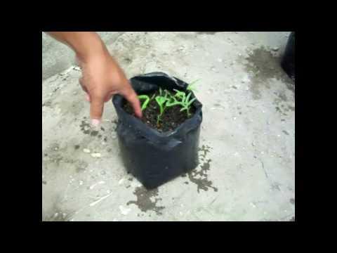 Video Cara menanam kangkung di polybag