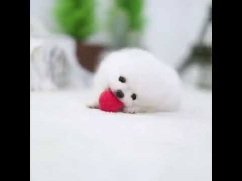 Toby Micro White Pomeranian