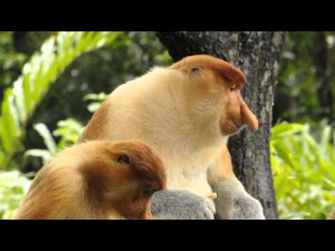 Video - scimmia con la proboscide