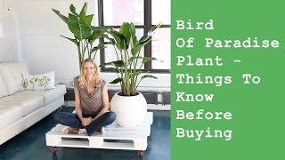 Bird Of Paradise Indoor Plant - Things To Know Before Buying