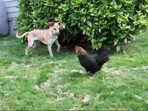 Watch a dog fuck a chicken !!! Video is very funny !
