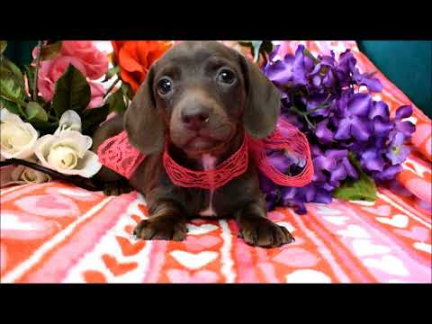 Bailey AKC Chocolate Miniature Dachshund Puppy for sale!