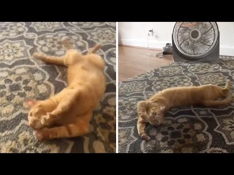 Cat rolls every time hears the Word 'spaghetti'
