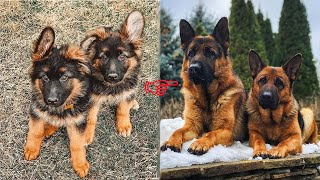Funny And Cute German Shepherd Puppies Compilation #5 - Cutest German Shepherd 2020