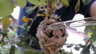Hummingbird Chicks Rescue - April 13, 2014