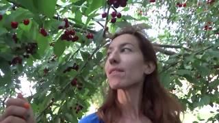 Черешневый рай в Анапе 17.06.2016
