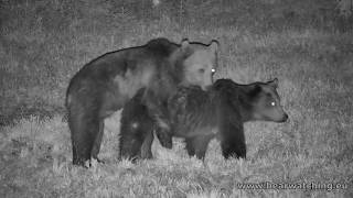 Bear cubs mate for the first time at front of wildlife camera ❤🐻