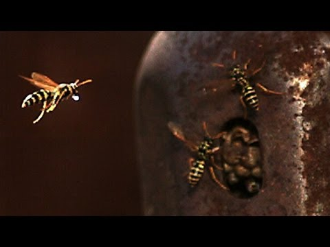 Wasps In Super Slow Motion Are 4,700 FPS Of Freaky