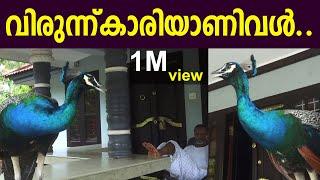 മയിൽ വീട്ടിലെ നിത്യ സന്ദർശകൻ . | Peacock Living in Home