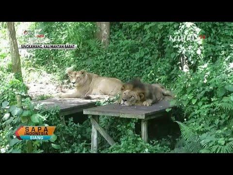 Dinilai Kurus, Singa di Sinkazoo jadi Sorotan Warganet