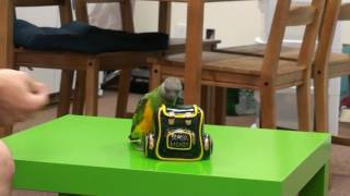 Kili Senegal Parrot - Piggy Bank Trick