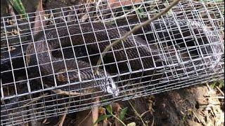 Bẫy rắn trúng rắn hổ mang hổ đất miền nam cực độc.Săn bắt giải trí LTX