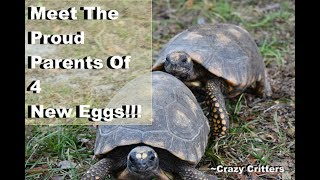 Redfoot Tortoise laying eggs in  December