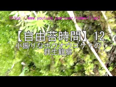【自由苔時間】12 小振りのホウオウゴケ?の群生観察