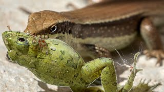 Stopping Lizards From Eating All My Frogs!