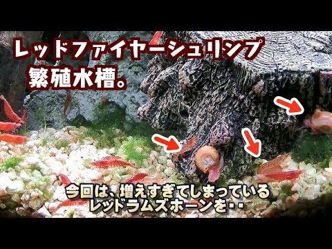 【エビ水槽】レッドファイヤーシュリンプ水槽から、レッドラムズホーンを一部駆除せよ!