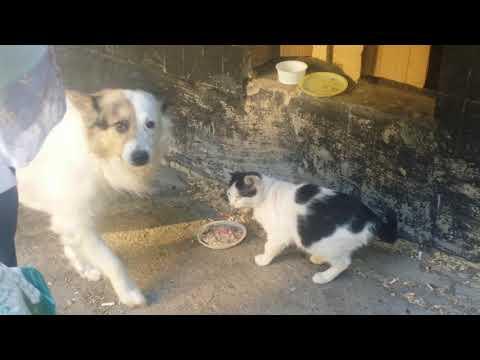 #WhiteWolf #Husky #Cat #Love  Стёпа тоже хочет есть/ Stepan also wants to eat