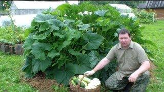 Выращивание кабачков, цуккини и патиссонов хитрым способом