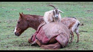 Весёлый момент - коза греется на лошади